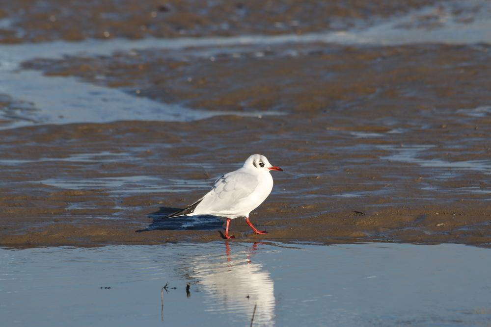Black headed gull: winter plumage.