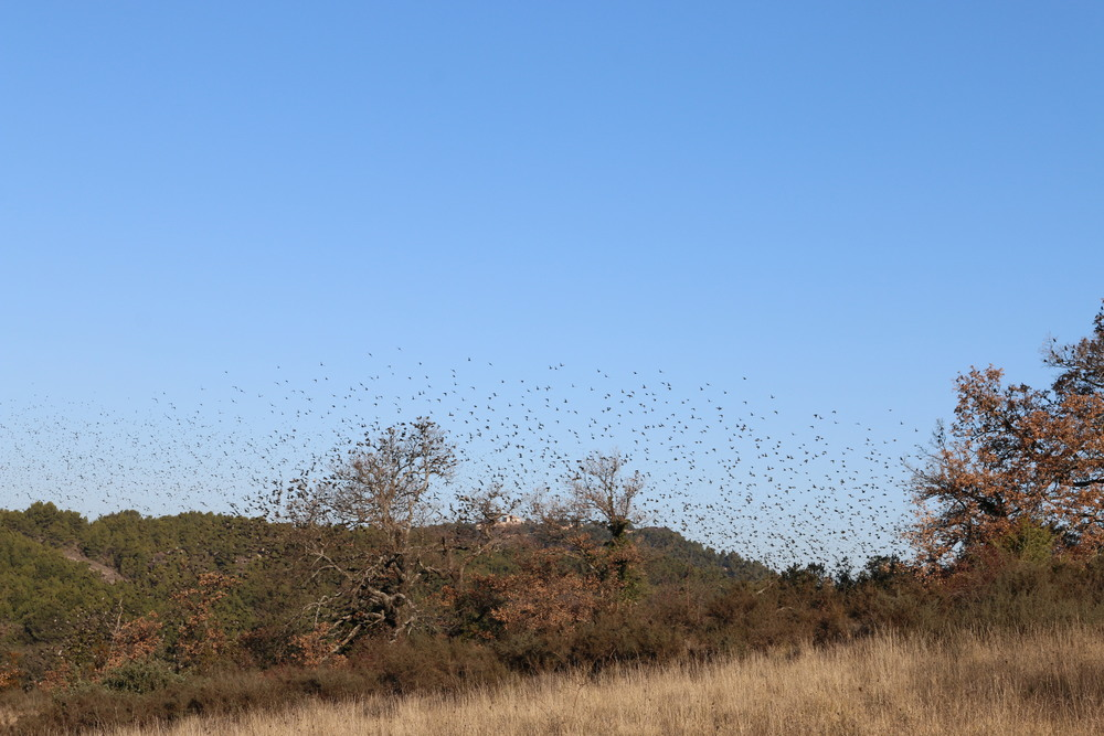 Thousands of starlings in the vineyards outside.