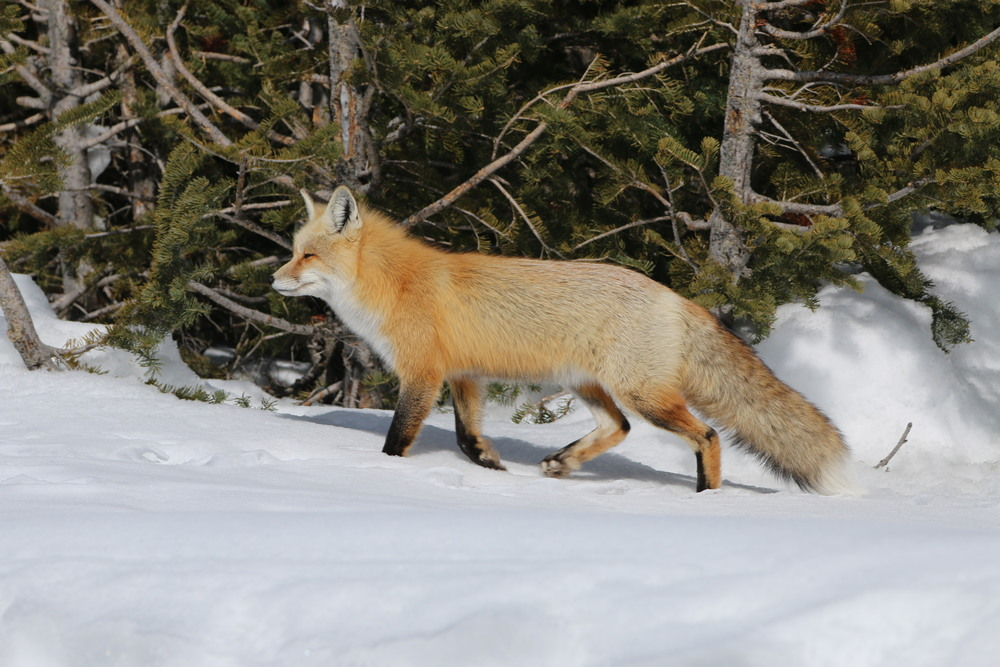 Red Fox (at Colter Bay)