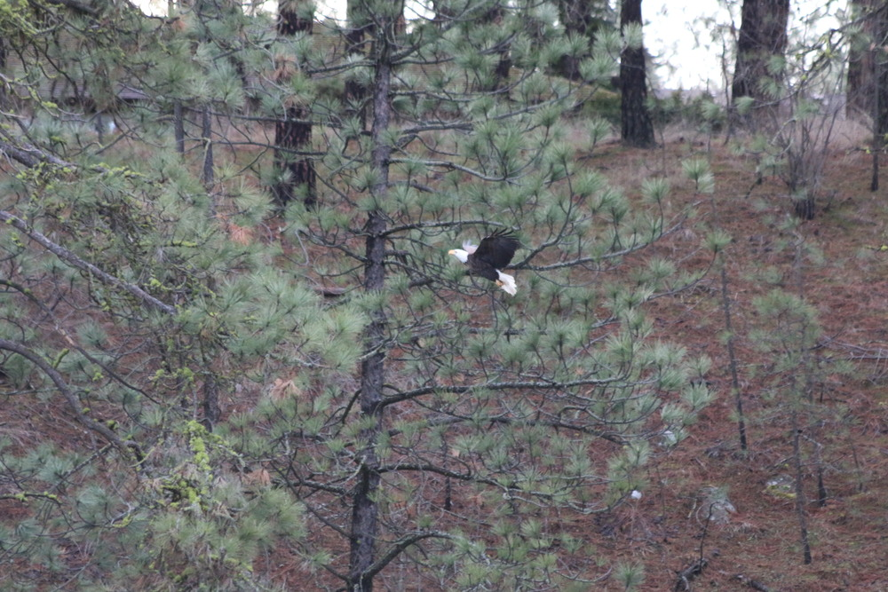 Bald Eagle: photo taken from outside the house.