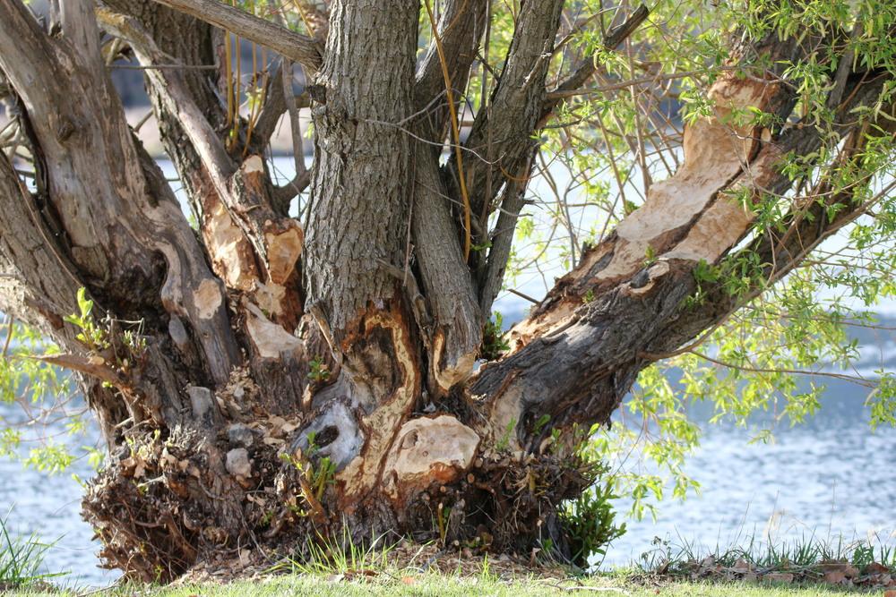 Beaver damage: Oroville, Osoyoos Veteran's Memorial Park