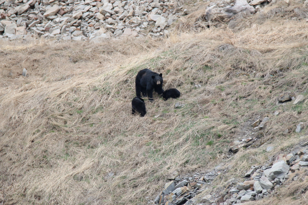 Black bears: just off the hwy