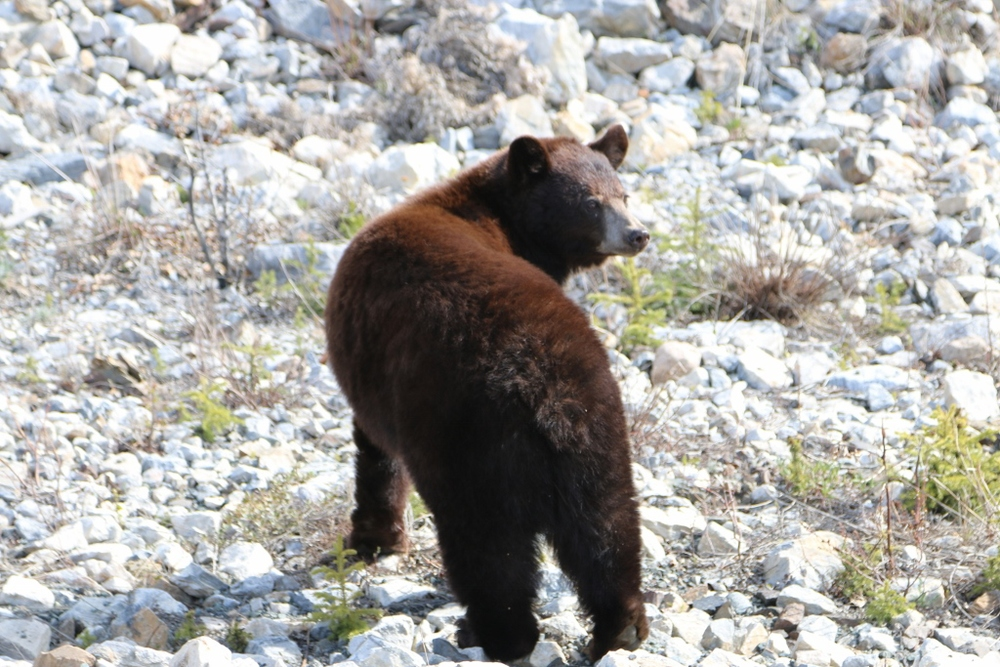 Black bear beside the Alaska Hwy