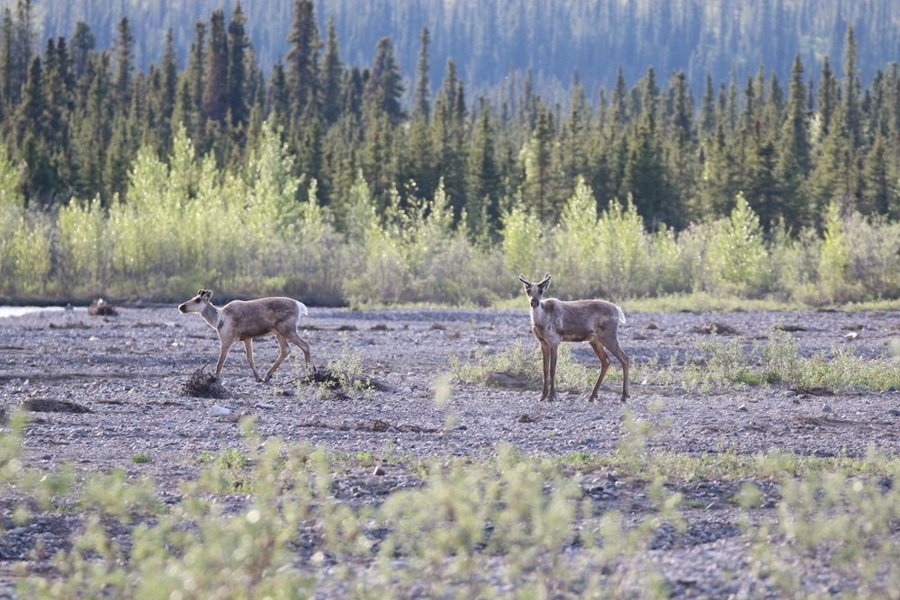 Young Caribou near Taklanika River Campground