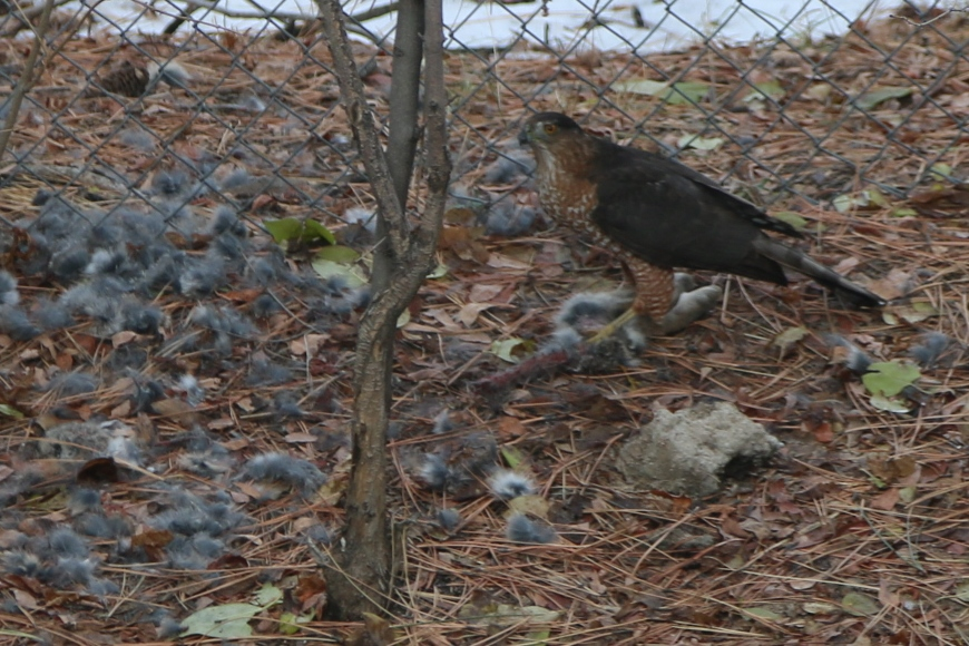 Cooper's hawk with its kill