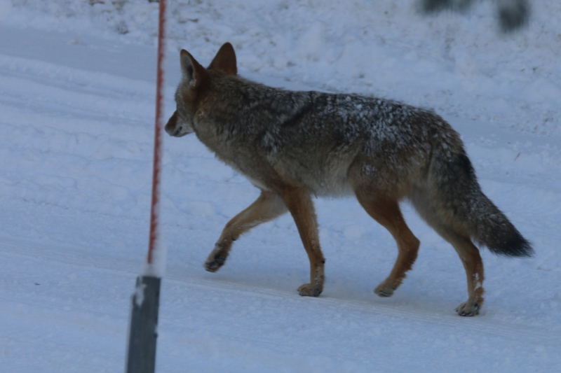 Coyote photographed from the boy's bedroom
