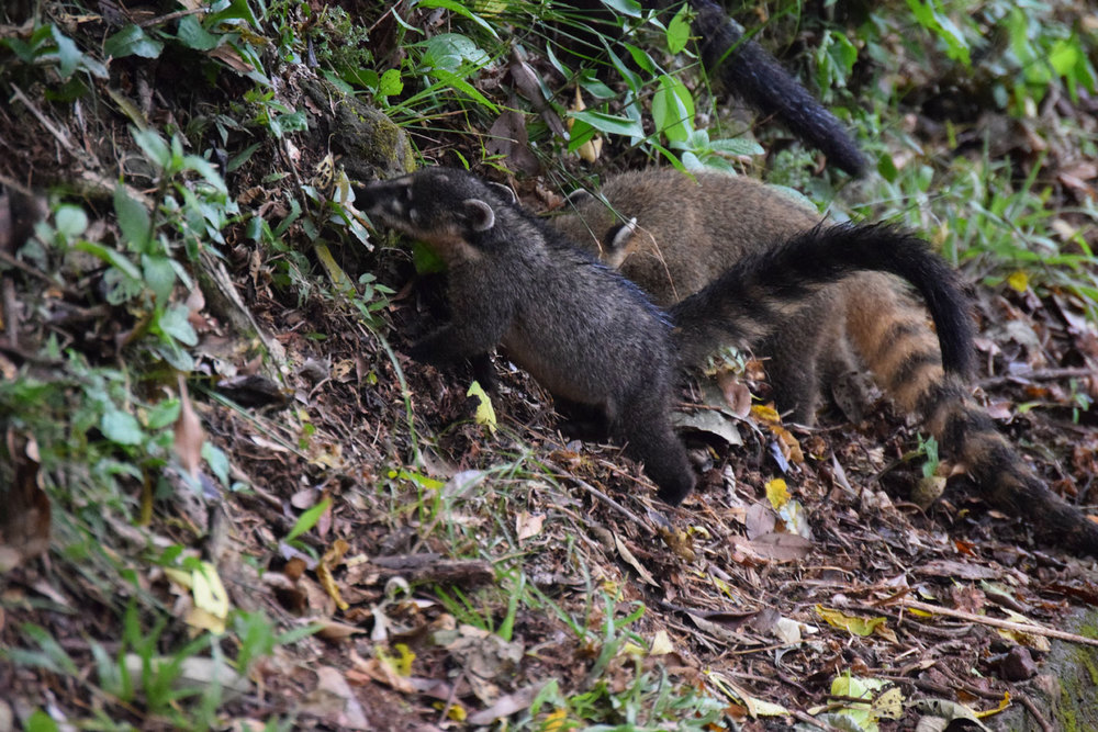 Coatis on the lose!