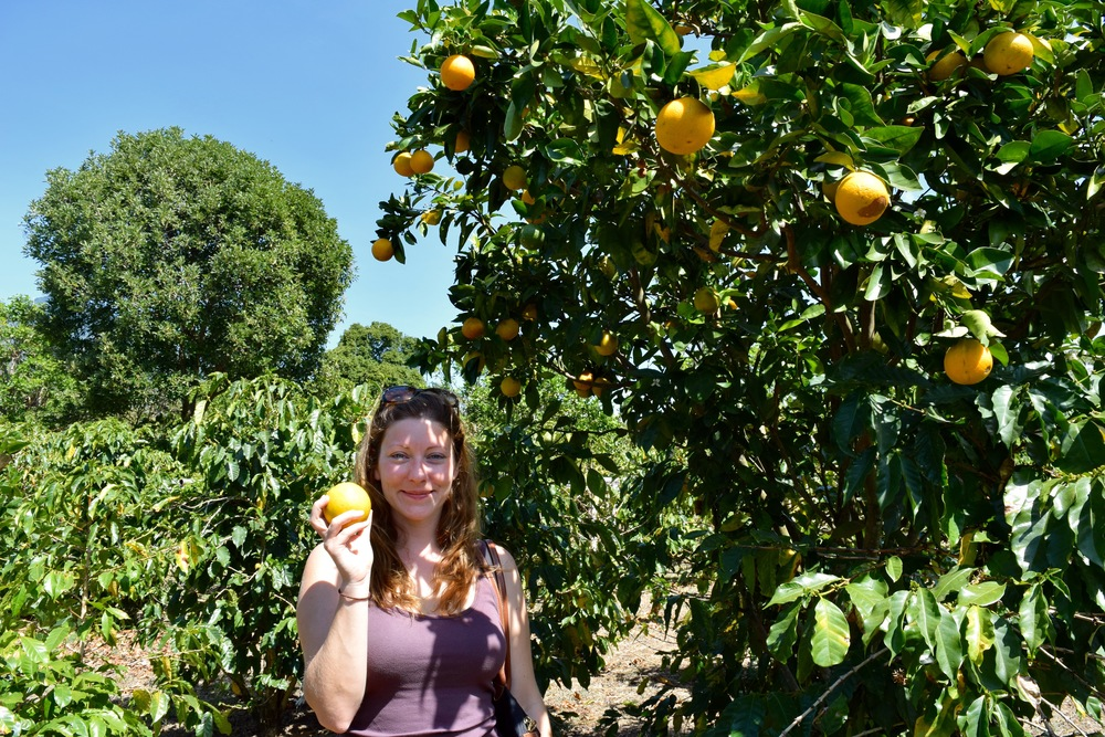 Picking oranges in the beautiful fincagrounds.