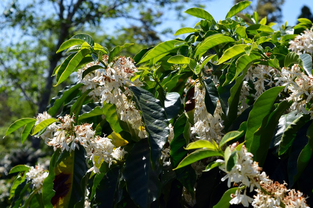 Coffee trees in bloom.
