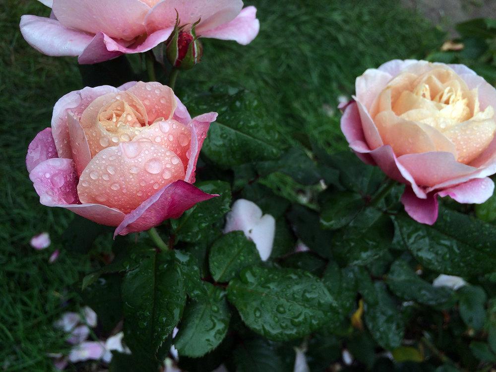 Rainy Rose print.jpg