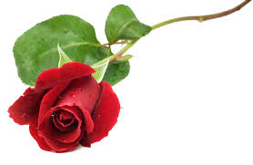 Rose (Standard)    Colors:  White, ivory, yellow, orange, red, burgundy, pink, hot pink, lavender, light purple   Care:  Remove all but top two leaves, remove thorns, preservative