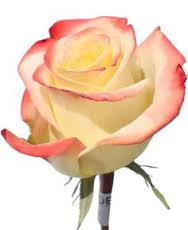Novelty Rose    Colors:  Bi-color, white/pink, white/red, orange/red, rust/taupe, pink/green   Care:  Remove all but top two leaves, remove thorns, preservative