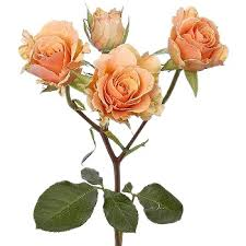 Spray Rose    Colors:  White, ivory, yellow, peach, orange, red, burgundy, hot pink, lavender   Care:   Remove all but top two leaves, remove thorns, preservative