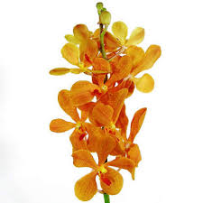 Mokara Orchid    Colors:  Orange, red, hot pink, purple    Care:   Cut, place in preservative/water, prefer warmer cooler