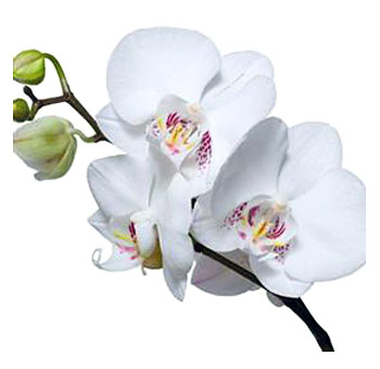 Phaleonopsis Orchid     Colors:  White, hot pink, light pink   Care:  Very fragile, warm cooler, leave in box for wedding use