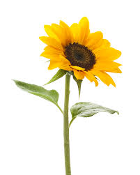 Sunflower     Colors:  Yellow, brown    Care:  Cut and preservative. Place in deep bucket to avoid bending