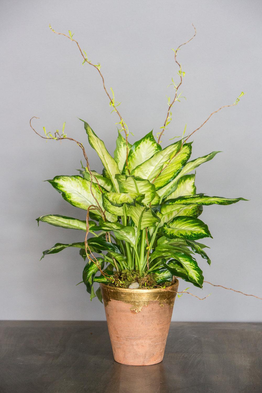 Variegated Plant $65