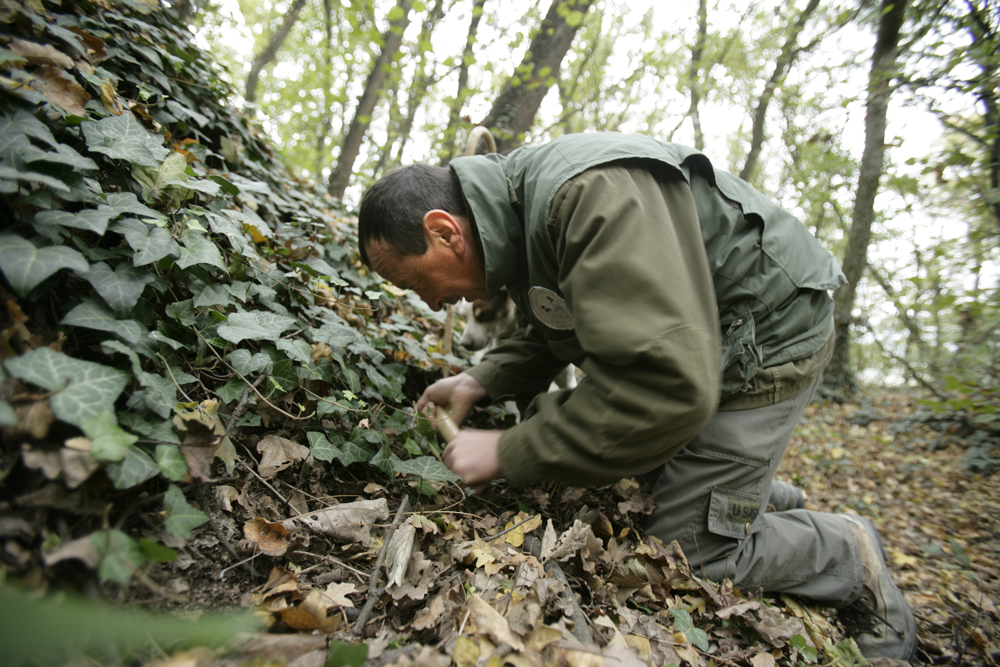 digging for a truffle with a tartufai