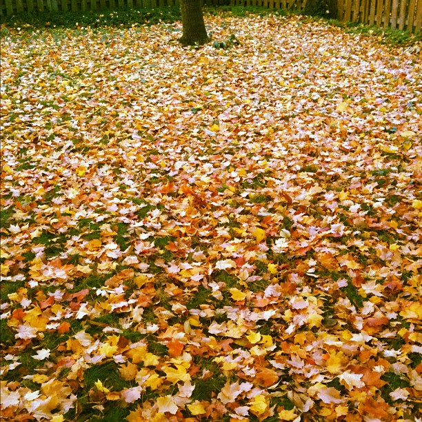 Even on a dreary, cold, rainy day the leaves are still beautiful :) #fall in #fullswing