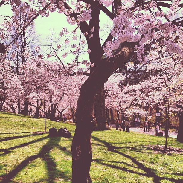 Yesterday at High Park ;) #cherryblossoms are in full bloom! #toronto #traditions