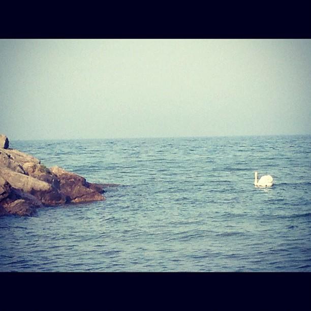 Le swan! @jackdarlingpark :)