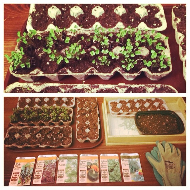 Say hello to my little friends! I'm seeding some organic #kale which let's just say has been an over achiever from the get go, #redlettuce, #spinach, #dill, #thyme & #squash. This is gonna be the best summer garden yet! I will be keeping some of my sprouts inside over the winter too, which is a first for me but hey, fresh greens = #winning! #picstitch