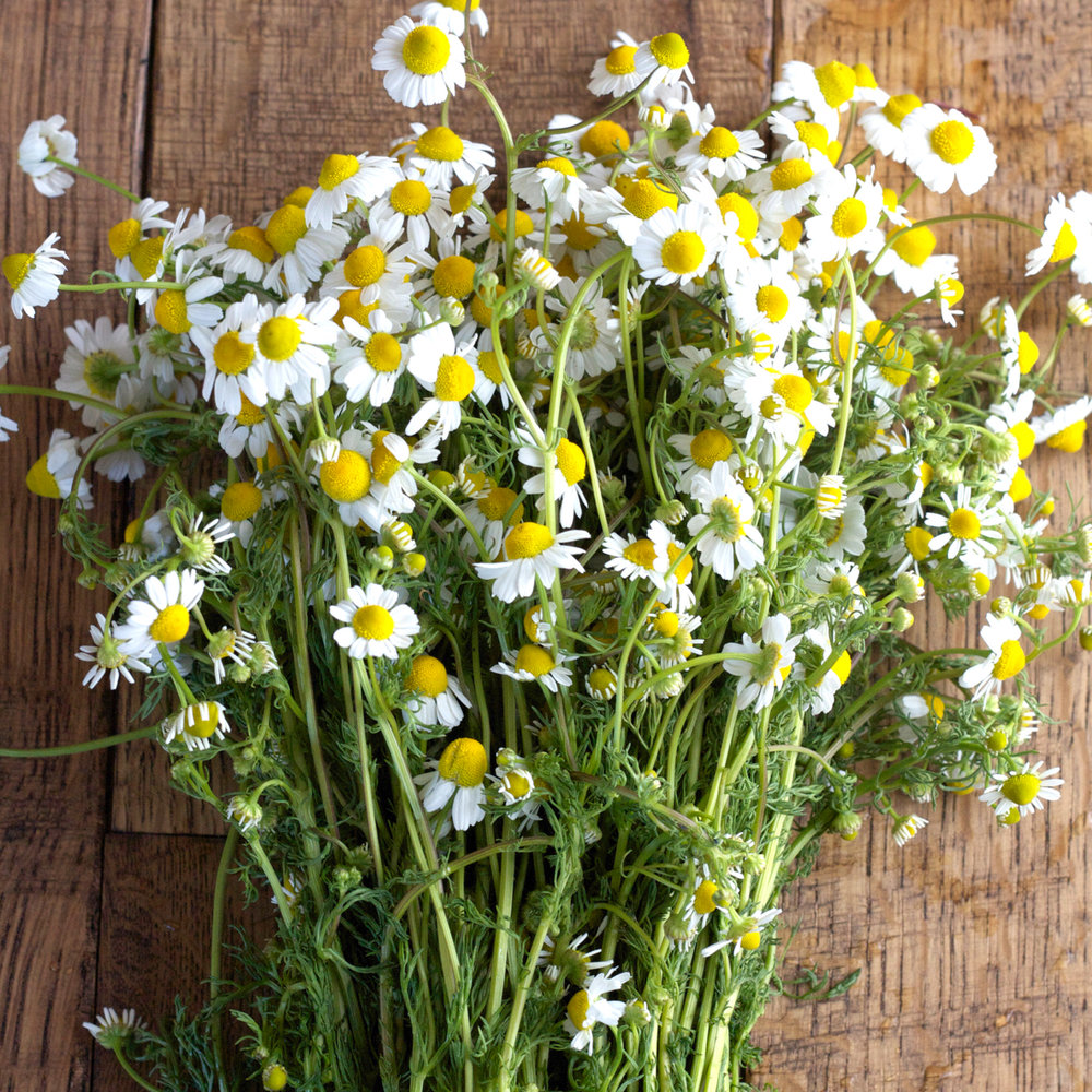 Organic Chamomile (Matricaria Recutita)   The first thing that comes to mind when I think of this sweet flower, are the wonderful soothing properties.  Chamomile has long been known as a calming agent for skin irritations. It's antioxidant properties allow it to be effective in treating eczema, acne breakouts, and reducing eye puffiness. We love it because it smells soft and pretty and is secretly nourishing and moisturizing in our premier Loose Mineral Foundation.    We use an Organic Chamomile in our blend because it allows us to feel free and clear of pesticides, herbicides, fungicides and GMOs (Genetically Modified Organisms) that are known to cause skin irritations.  That would be ridiculous.