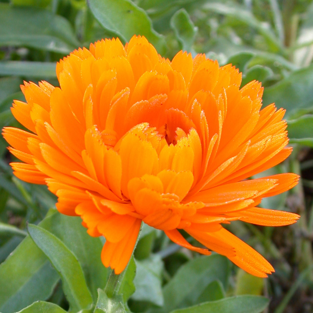 Organic Calendula (Calendula Officinalis)   Ahh Calendula, a personal fave.  Traditionally used to calm and heal the body of rashes and wounds, this beautiful flower, otherwise known as Marigold, is what new mother's have been putting on their babies bottoms for centuries.  And if it's good enough for watchful mama's, then I know it's good enough for us to put on our faces to help smooth eczema and skin ulcerations, treat acne, and calm down redness and swelling.    Calendula is cool because it's high in flavonoids, which are a kind of plant pigment which act as antioxidants.  I mean, just look at that orange colour?! To the plant, these flavonoids offer protection from ultra violet light which can damage our skin on the cellular level.  For us? Those flavonoids give protection to our skin cells, aiding in healing wounds.  Calendula is pretty much bad ass.  Oh! And not to mention that this herb stimulates collagen at the wound site, minimizing scarring.  I could jump for joy!