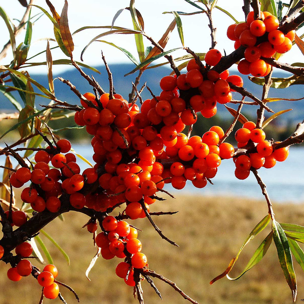 Sea Buckthorn extract (Hippophae Rhamnoides)   Sea Buckthorn is one of those superfoods you may have heard of.  It's a beautiful bright orange berry that is known to grow at high altitudes and in harsh climates where phytonutrients keep the berry extremely healthy.    As a superfood, Sea Buckthorn is rich in vitamin C, (12 x an orange!) vitamin E, (3 x wheat germ!) vitamin A, (3 x carrots!) and is the only plant source that contains Omegas 3, 6, 9 and 7!  These nutrients help to promote healthy skin regeneration, elasticity, treat and prevent acne, soothe rosacea and delay dermal aging. What could be better? A natural bactericide, antioxidant & analgesic (a topical pain reliever to sooth muscles and joints) it benefits all kinds of inflammation.  You bet we love this ingredient to the moon and back!