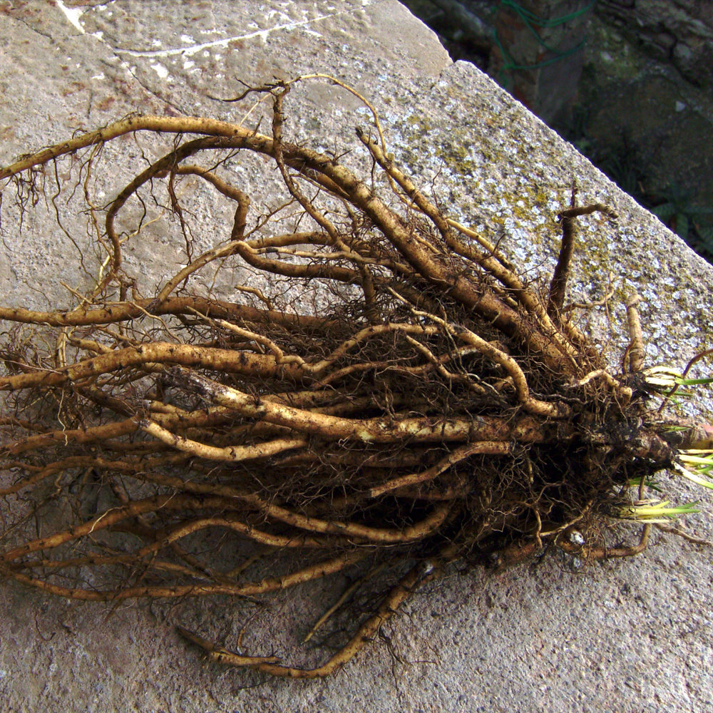 Marshmallow Root (Althaea Officinalis)    Every time we mention Marshmallow root to people, they chuckle and always think of campfires and S'mores!  And funny enough, this plant was once upon a time used to make those soft, spongey treats we all love to toast to golden brown perfection!    However, here at Urban Minerals, we're using Marshmallow root for it's more traditional uses, as a powerful demulcent a.k.a. it's ability to help heal sores, skin abrasions and open wounds. The root is a cooling agent, so it's useful in calming down rosacea, dry skin, psoriasis and eczema.    Softening for the skin, Marshmallow root also has a plumping effect and can smooth out fine lines! We love it for it's highly anti-inflammatory and skin normalizing properties, meaning it will re-establish balance in your skin and help you to feel soft and smooth for longer, regardless of what the weather and environment dictate!