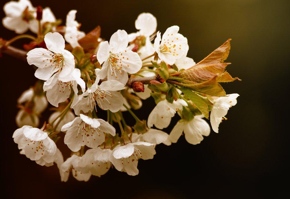 Flores de peral para mi último M.