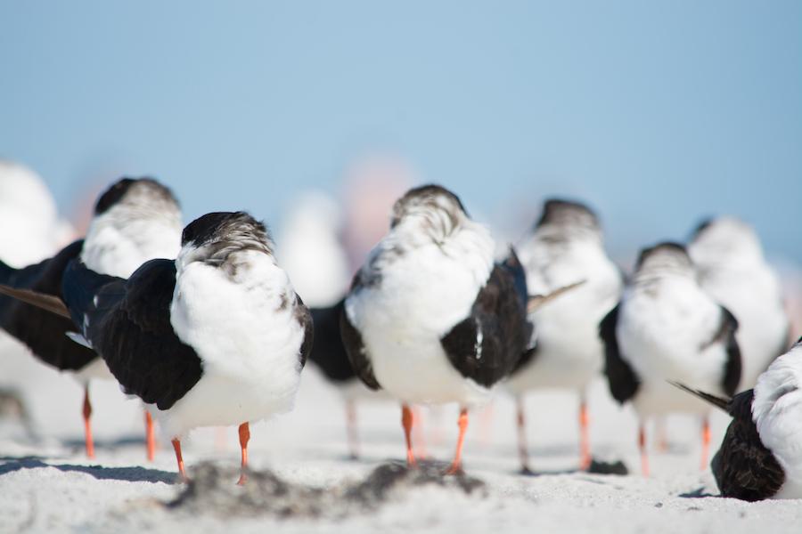 shybirds
