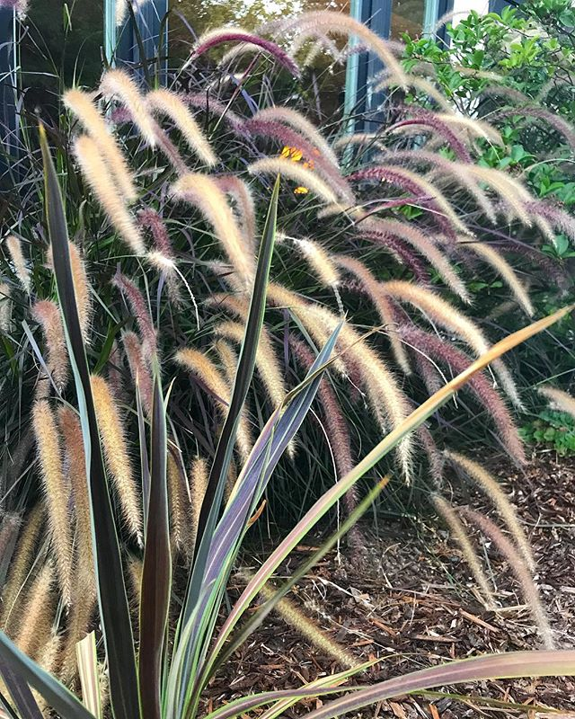 Warm monochromatic tones are so cool in this foundation planting of Purple Fountain Grass and Electric Star Cordyline.  Tres chic.