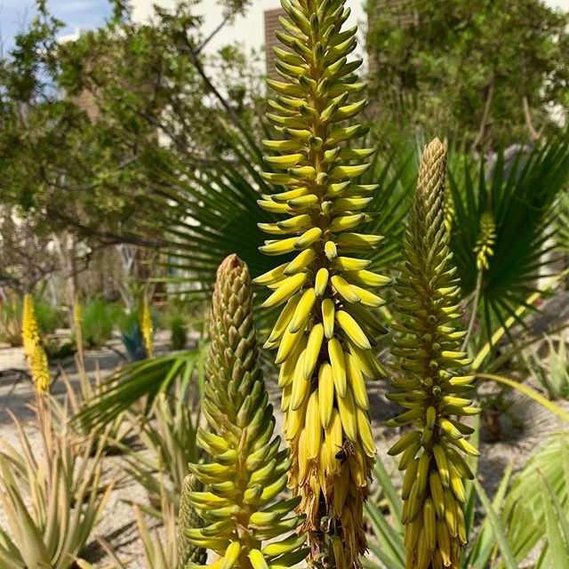 Inspired by the low-water gardens viewed on a recent visit to Mexico - this beautiful yellow 'Red Hot Fire Poker' or 'Torch Lily' (Kniphofia) is right at home with agaves and palms. Even the 🐝 are enjoying the bounty.