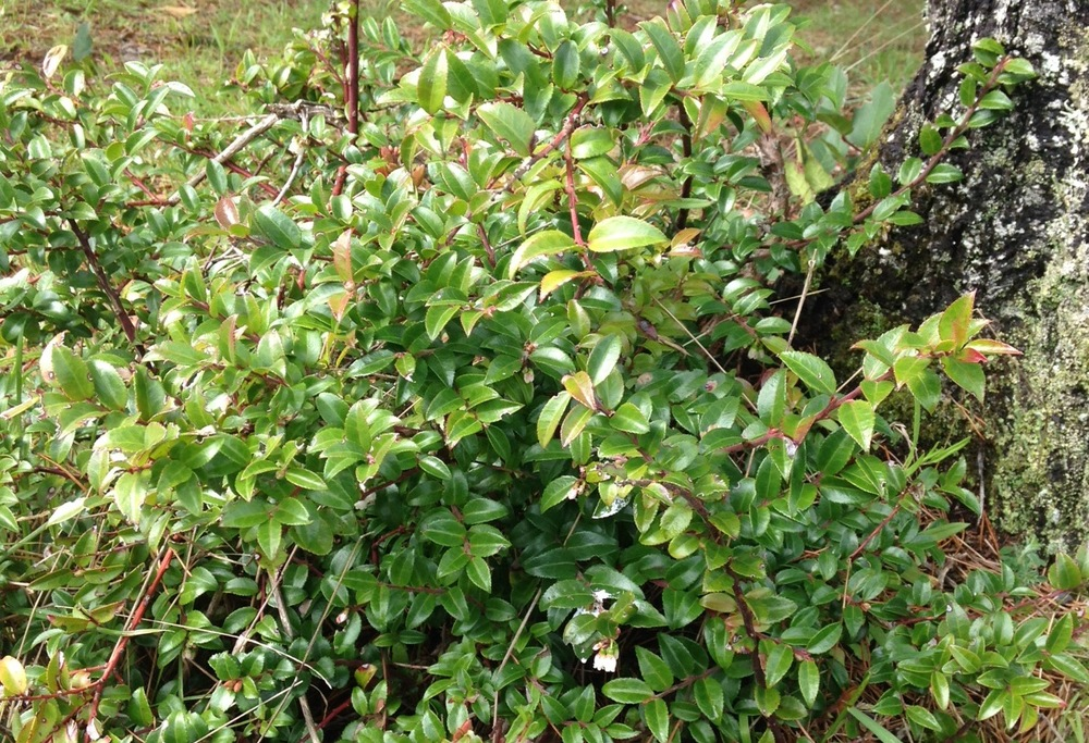 Evergreen huckleberry in spring