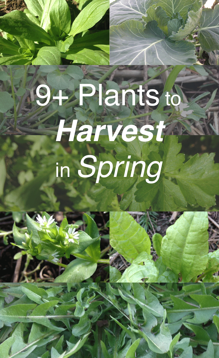 plants to harvest in spring.png