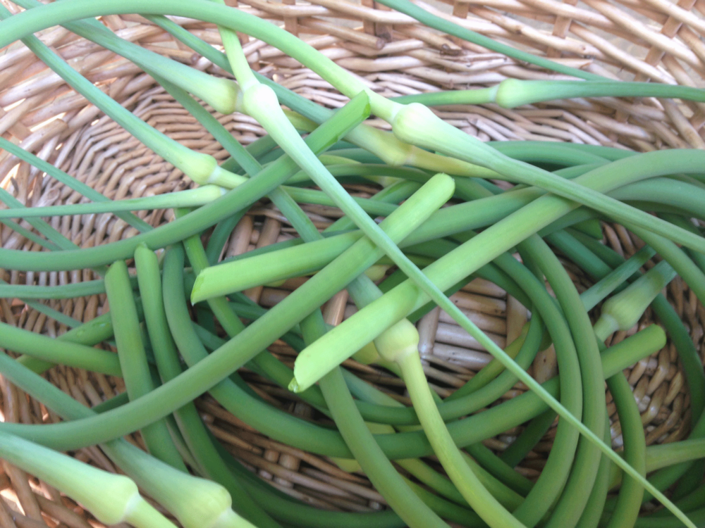 garlic-scapes.png