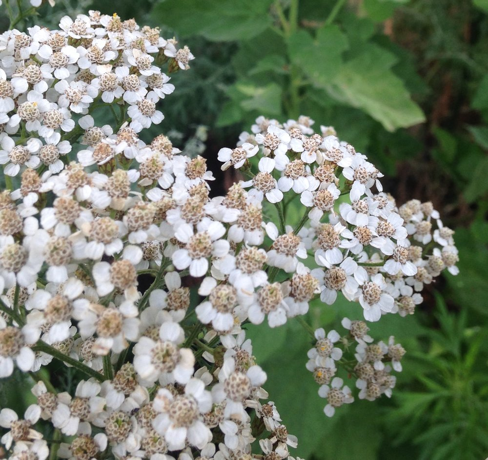 White yarrow flowers in the foreground in my medicinal garden