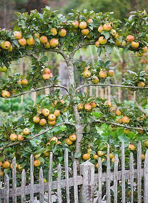 espalier fruit tree.jpg