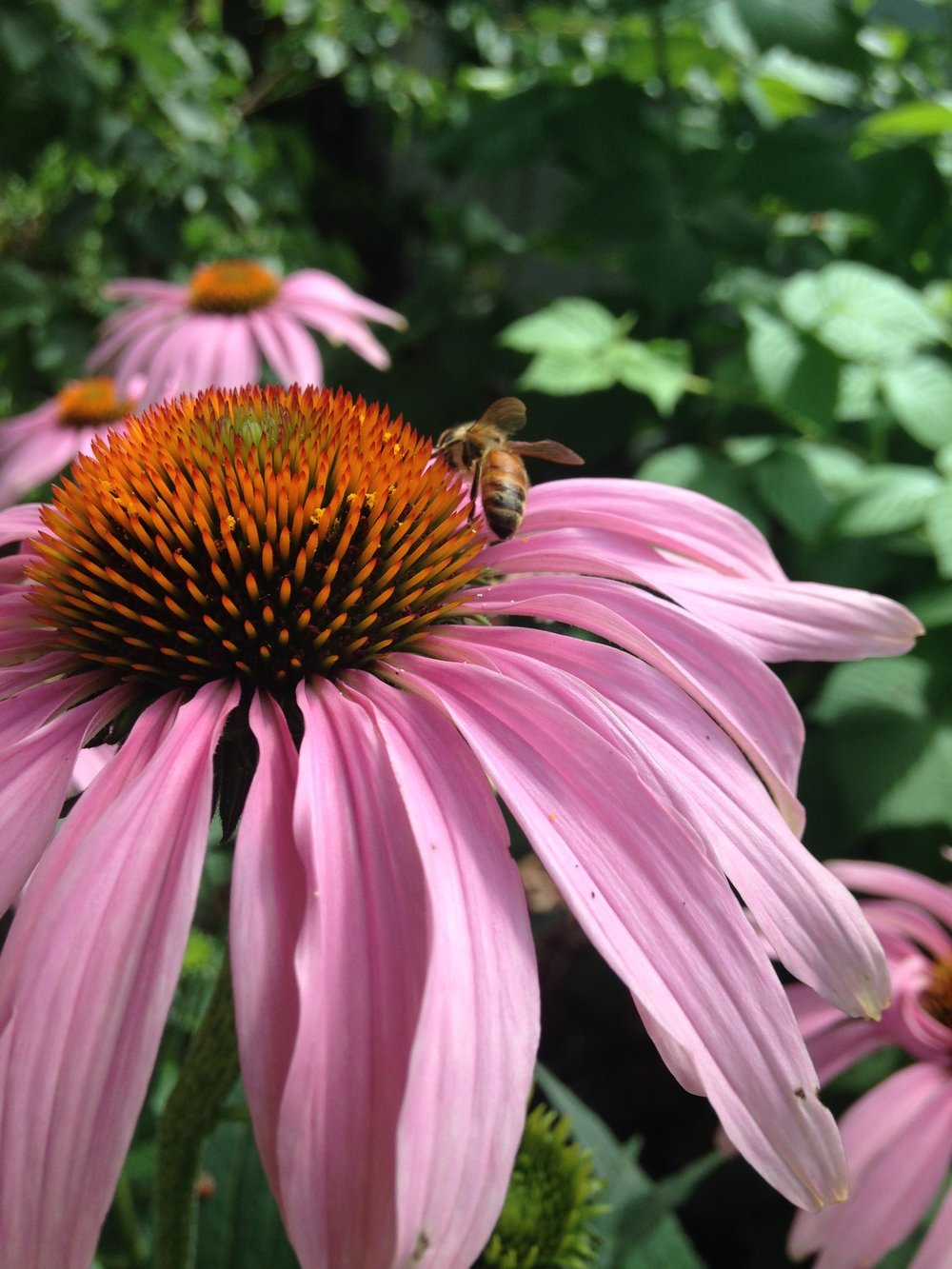 Daily Harvest Design_Free Training Series_Echinacea