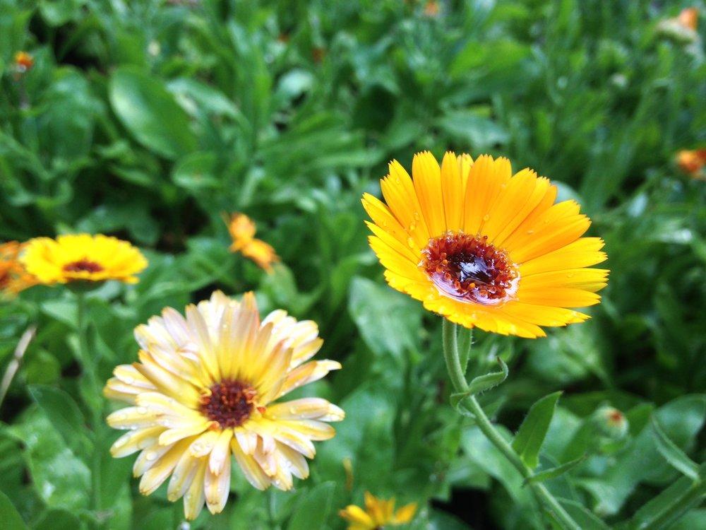medicinal landscape design_edible landscape design.JPG
