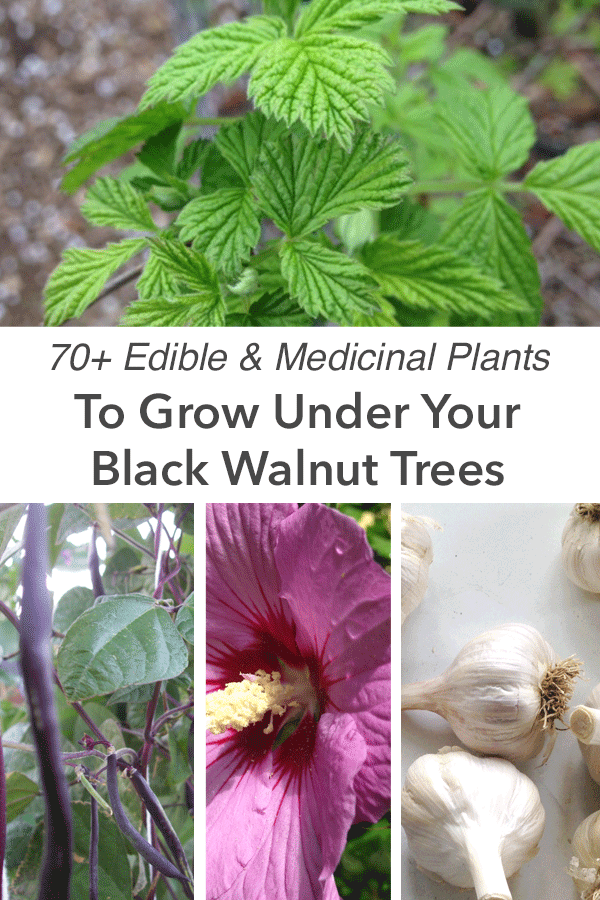 70-edible-plants-that-grow-under-black-walnuts.png