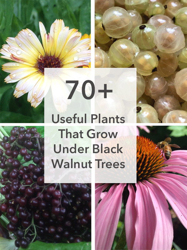 70-useful-plants-to-grow-under-black-walnuts.png
