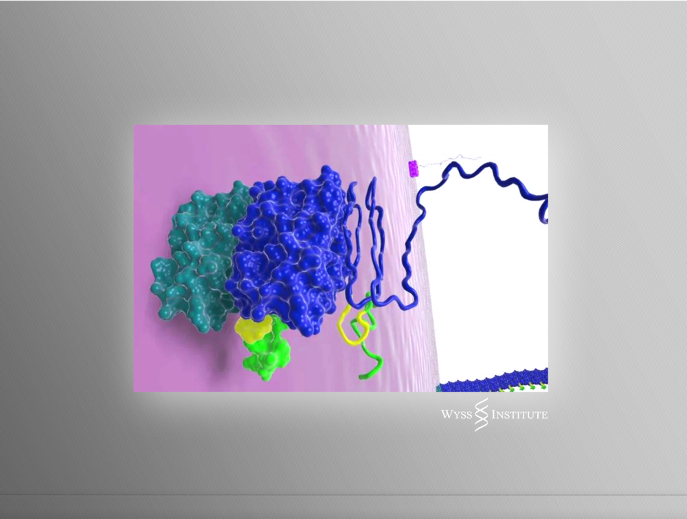 Model of Protein Nanofiber Self-assembly on a Cell Surface