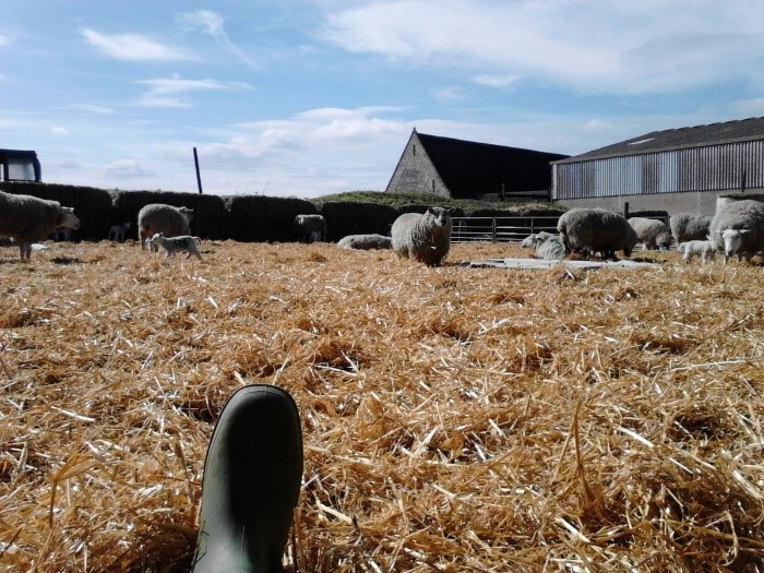 hard day at the office - lunch break amidst the lambs on an AHEMS lambing placement