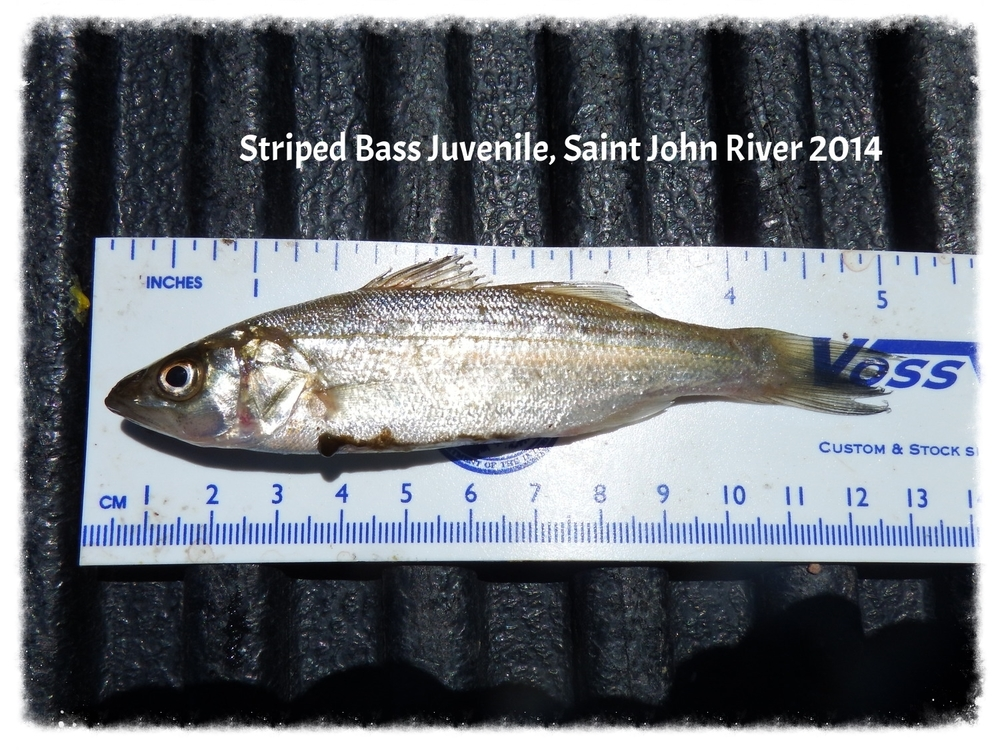 First juvenile Striped Bass in SJR
