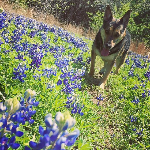 This was our first time getting BB photos and I'm so glad we did during the beautiful weather this Spring! Walnut Creek is our favorite park for socialization in all of Austin 👍🏼🐶 • • • • • • • • • • • • • • #bluebonnets #bluebonnets2018 #austindogs #austinparks #offleashhiking #offleashlife #hikingwithdogs #austintx #austintexas #austin360 #austinlife #austinfitness #atxphotographer #atxlife #atxdogs #atxlifestyle #atxliving #atxlocal #dogsofaustin #dogsofatx #dogwalking #dogsitting #dogtraining