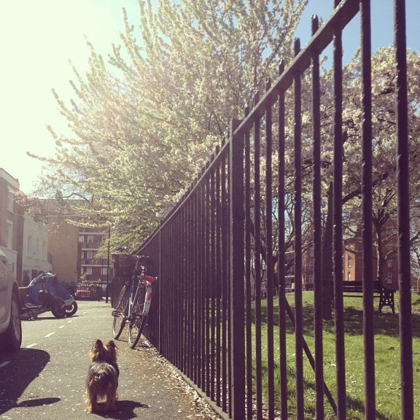 Spring finally got the memo! Carms approves. #nugget (at London Fields)