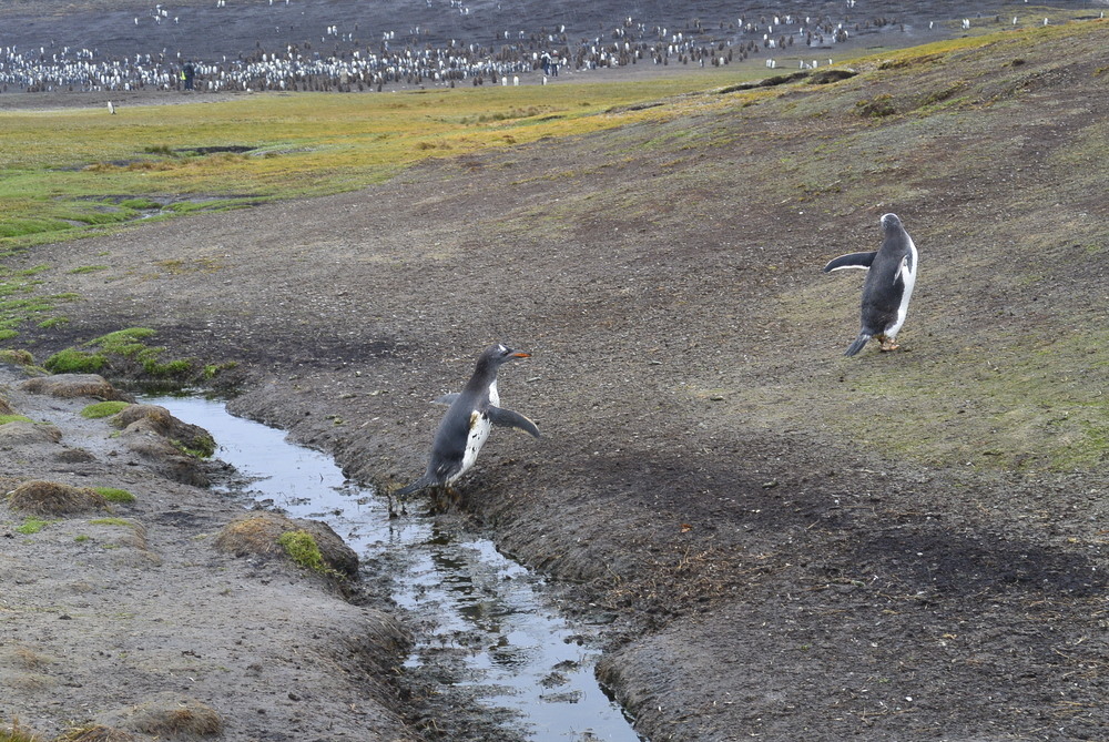 Falkland Islands Penguin Jumping