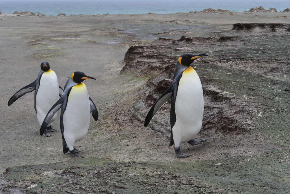 King Penguin on Falkland Islands